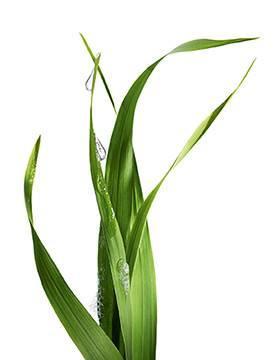Bio Inhaltsstoff Lemongrass Pflanze kl Gia Dụng Đức Sài Gòn